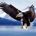 Animals Jigsaw Puzzle Eagle